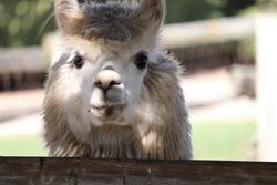white alpaca staring at camera