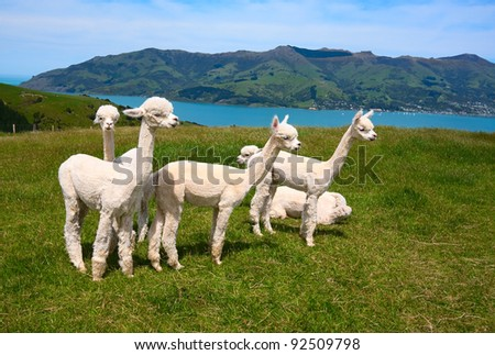 White alpakas are on backgrounds of fjord, South Island, New Zealand.