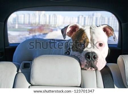 White american bulldog enjoying trip in the car truck