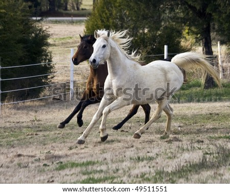 White and Bay horse running side by side