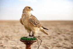 White and Beige Falcon sitting in the desert