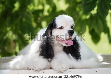 white and black american cocker spaniel dog lying down