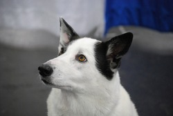 White and black canaan dog sitting very alert.