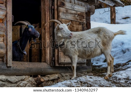 White and black domestic goat. The picture was taken in Slovakia in the Low Tatras in winter. Month February.