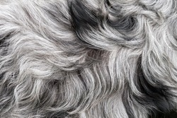 White and black, grey dog's dense fur high quality macro, gray haired dog's coat or simply a fluffy rug background texture abstract concept, extreme closeup