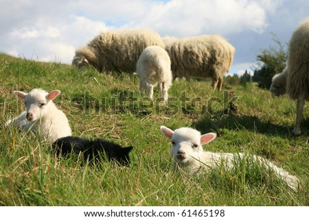 White and black lambs. Herd of sheeps - Skudde - the most primitive and smallest sheep breed in Europe on the field in Pasterka village in Poland.