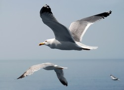 White and black seagulls flying over blue sea