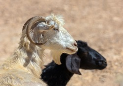 White and black sheep grazing on a hillside near Mitzpe Ramon. The Negev Desert, Israel