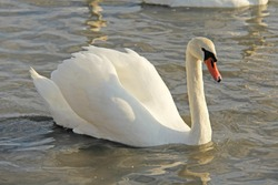 White and black swans swim in the lake in summer or autumn. Beautiful white swans.