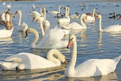White and black swans swim in the lake with blue water, in summer or in autumn. Beautiful white swans.