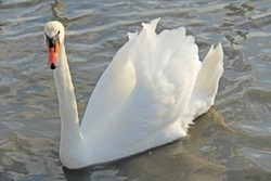 White and black swans swims in the lake in summer or autumn. Beautiful white swans.