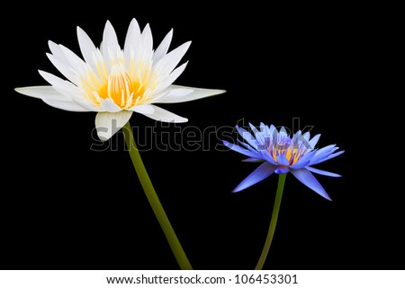 White and Blue Lotus Isolated on Black Background
