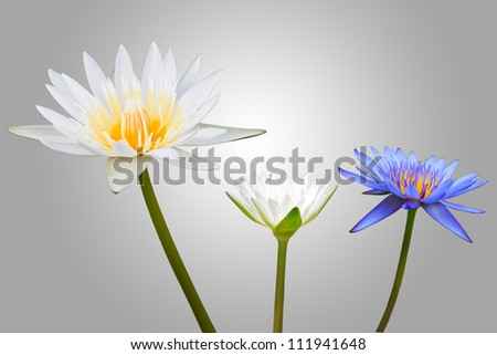 White and Blue Lotus Isolated on grey Background