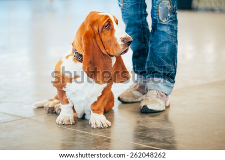 White And Brown Basset Hound Dog Portrait #262048262