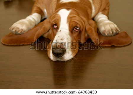 white and brown basset hound on the floor