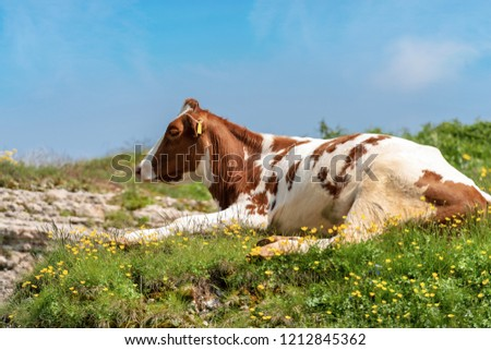 White and brown calf, resting on an alpine pasture with green grass, yellow flowers and blue sky with clouds #1212845362
