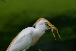 white and brown Cattle egret with bullfrog meal close up