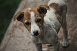 White and Brown colored dog with innocence in his eyes looking at the photographer