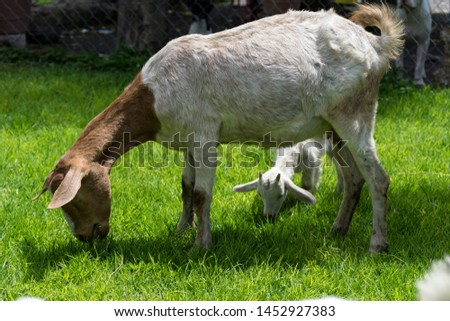 White and brown colored goats grazing in the meadow. #1452927383