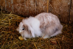 White and brown fluffy rabbit sitting on straw and eating an apple, wall of wooden logs, wooden shelter at farm, old barn in village, barn stall with hay on the ground, domestic bunny, coney or lapin