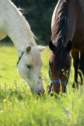 White and brown horse eating grass together free horses love in a green meadow