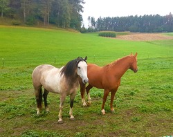 white and brown horses in the green meadow of the farm separated from the other animals and by the dog with electrified wires