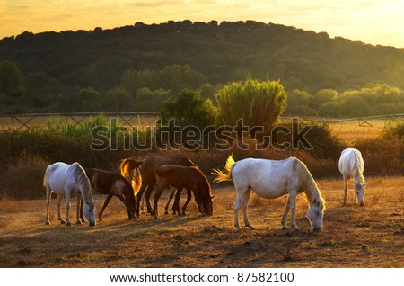 White and brown horses pasturing in the countryside at sunset