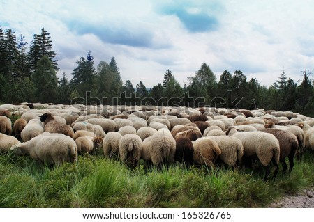 White and dark sheep in the Black Forest, closely packed flock at the edge of forest/ A flock
