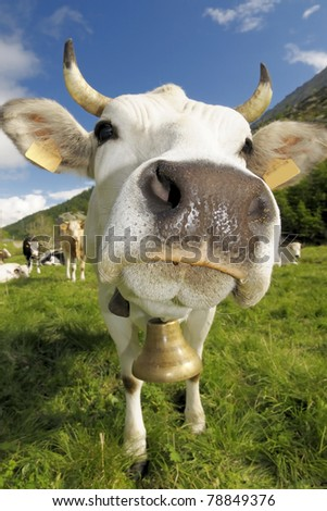 white and funny cow