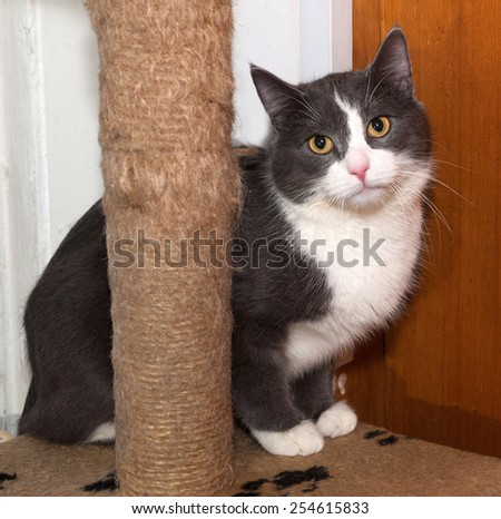 White and gray cat sitting on background scratching posts