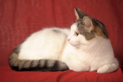 white and gray short-haired European cat on a red background