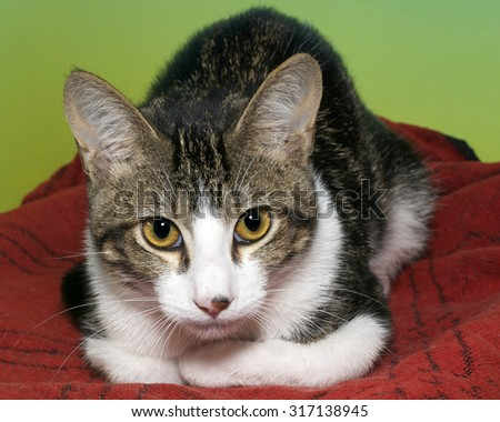 White and gray tabby curled up looking up to the side laying on red blanket with vibrant green background