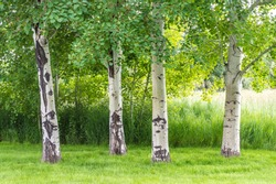 white and gray trunks of four aspen trees surrounded by wild grasses and greenery