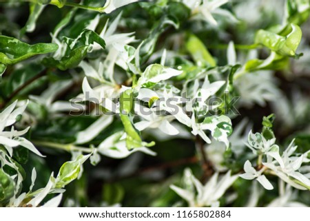 White and green leaves of variegata or wrightia religiosa  decoration tree in the garden, use as background.  #1165802884