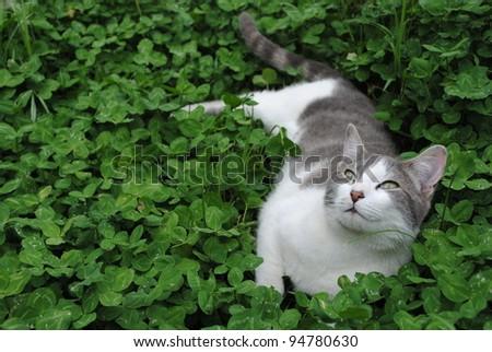 white and grey kitten resting on green clover