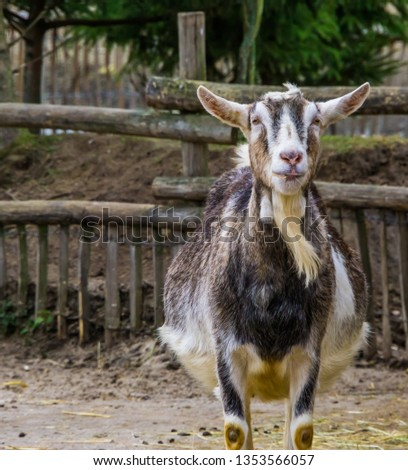 White and grey male goat, buck with a beard, Color variation of a white milk goat, Farm animal