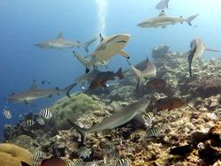 White and grey tip reef shark. A feeding dive. Micronesia, Yap, Pacific ocean. Dangerous predators swimming in blue water.