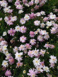 White and light pink flowers of Marguerite Daisy (Argyranthemum frutescens)