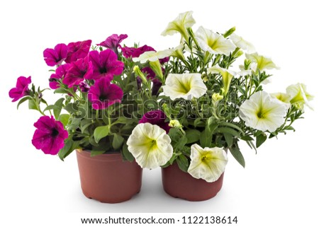 White and magenta blooming petunia flowers in flower pot, closeup, isolated on white background. Petunia hybrida in bloom, close up. #1122138614