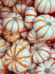 White and orange mini pumpkins top view. Outdoor home or garden decoration. Halloween or Thanksgiving decor. Autumn harvest concept.