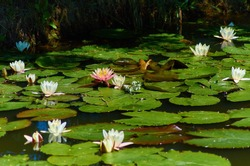 White and pink aquatic beautiful large lotus flowers in a blue river with green large leaves in summer