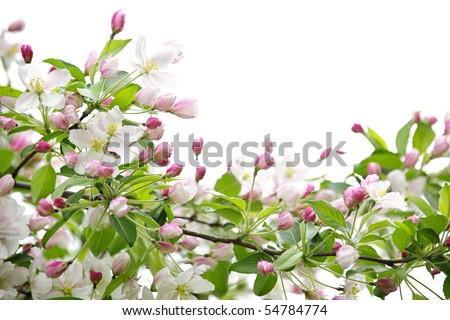 White and pink blossoms on apple tree branches on white background