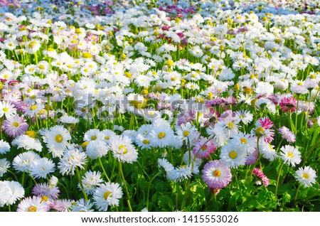 White and pink daisies. Bright, sunny floral background. Common daisy. English daisy.  #1415553026