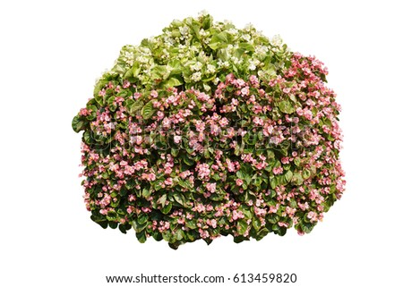 White and pink flowers bush  isolated on white background with clipping path included #613459820