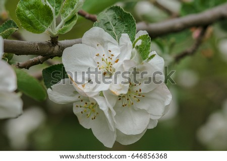 White and pink flowers of an apple tree among foliage ez canvas white and pink flowers of an apple tree among foliage mightylinksfo