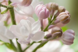 White and pink lilacs flowers background