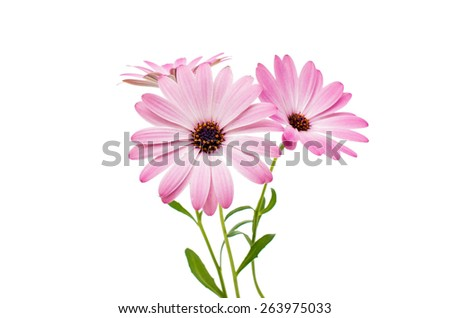 White and Pink Osteospermum Daisy or Cape Daisy Flower Flower Isolated over White Background. Macro Closeup Stock photo ©
