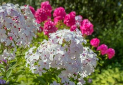 White and pink Phlox flowers close up. Floral background.