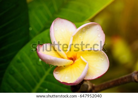 white and pink plumeria flowers....