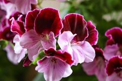 White and purple blooming geraniums.Geranium Grandiflorum, Regal Geranium